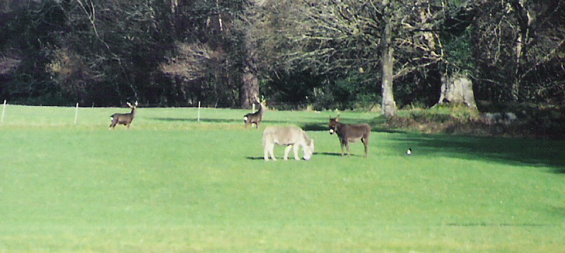 Stags and donkeys on lawn copy.jpg